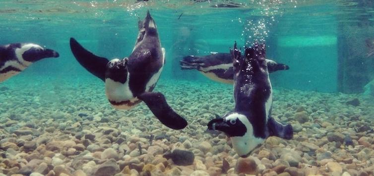 JZ_Dia Mundial dos Avós_Pinguim-do-cabo-cópia